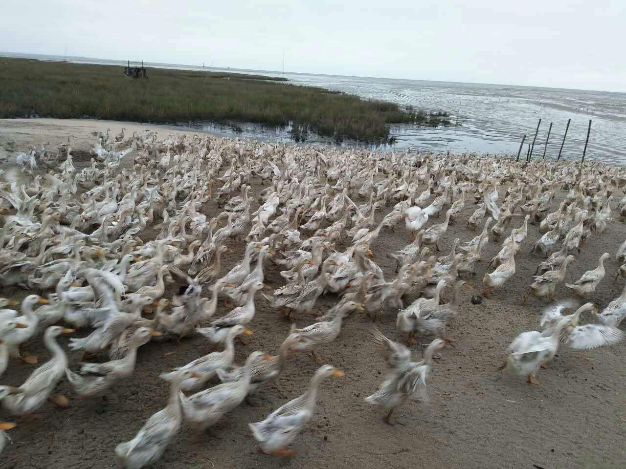 生态放养,回归自然 鸭子放养于红树林生态海域,这是个一天然牧场,海鸭以停留在海域的小鱼、小虾、小蟹、为食,吃着海鲜、泡着海水,生出来的海鸭蛋是天然的、生态健康的,让你买得放心吃得放心! 红树林是物种最多样化的生态系统之一,生物资源量非常丰富,岂是海岸滩涂动物的栖息地,红树林具有防风消浪、促淤保滩,固岸护堤,净化海水和空气生态效益。